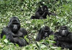 gorilla safari tracking -rwanda