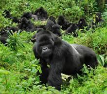 gorilla - africa -rwanda