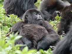 gorilla - safaris - tours