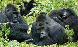 gorilla safaris -uganda