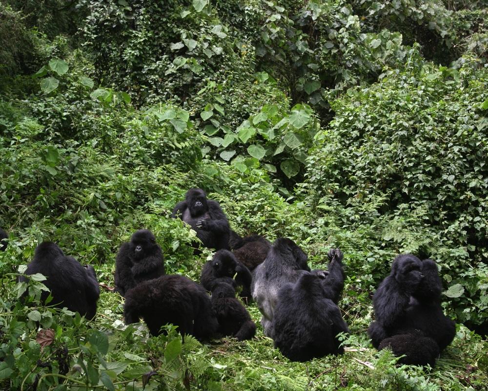 gorillas -families-uganda