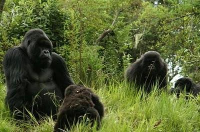 RwandaGorilla