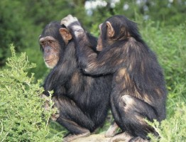 chimpanzee in uganda safaris