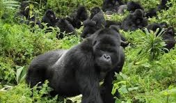 How many mountain gorillas are left in the world?