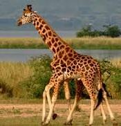 rochadale girafes-uganda