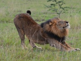 Male-Lion-in-Queen-Elizabeth