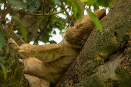 tree climbing lion in Ishasha sector uganda