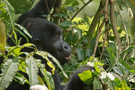 mountain gorilla in Bwindi NP