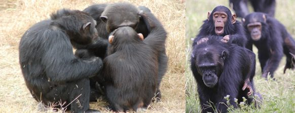 ol-pejeta-conservancy-chimps