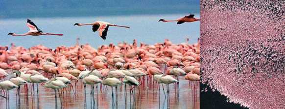 flamingos-lake-nakuru