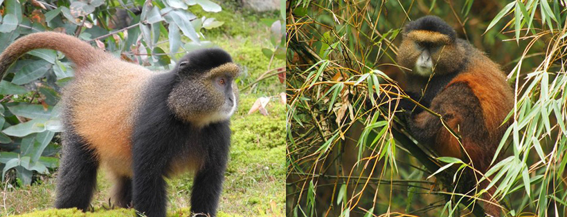 golden-monkeys-in-maghinga-national-park-uganda
