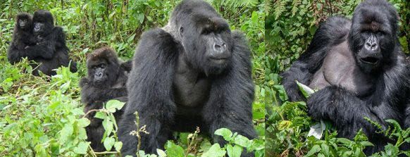mountain-gorilla-safaris-in-uganda