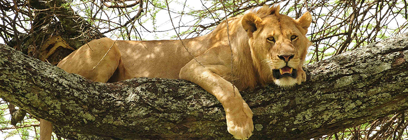 tree-climbing-lions-in-lake-manayara-tanzania-tours