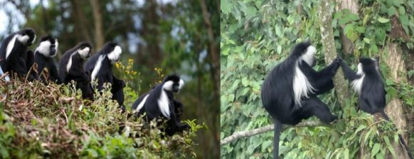 white-colobus-monkey-nyungwe-national-park