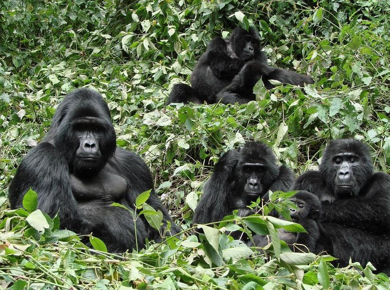 The lovely groups encountered during a gorilla trekking safari