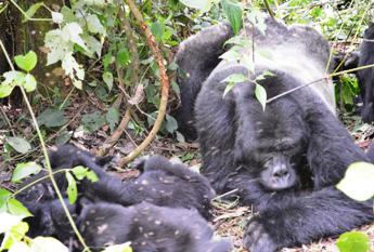 Habinyanja gorilla group , safaris in uganda , gorilla tracking