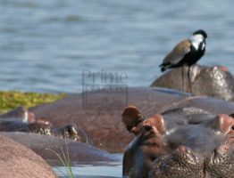 Wildlife safaris in Uganda