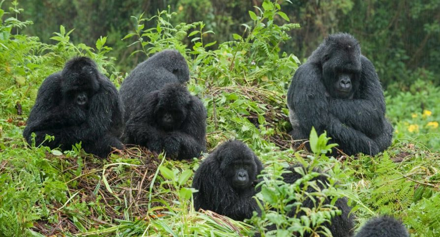 Why should i visit gorillas in Uganda