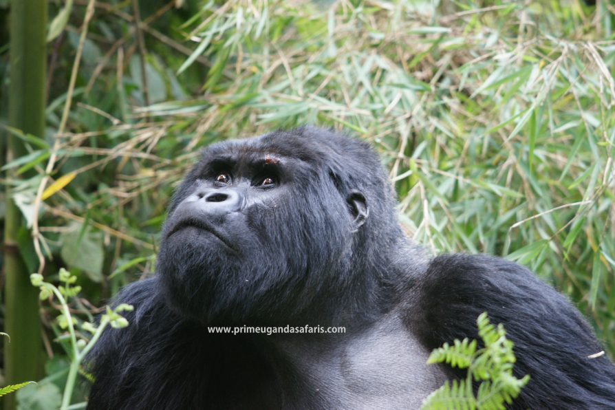 An emotional mountain gorilla