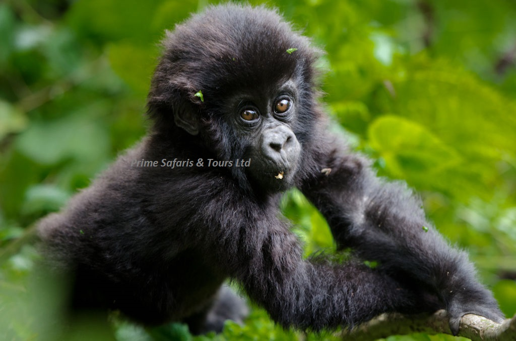 Difference between Mountain and Lowland gorillas.