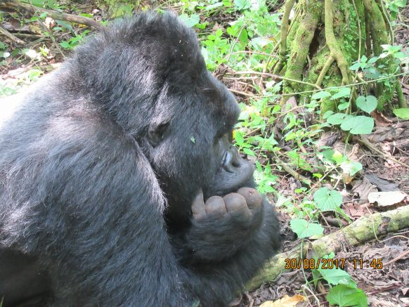 A mountain gorilla thought moment
