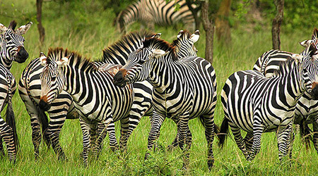zebra-lake-mburo