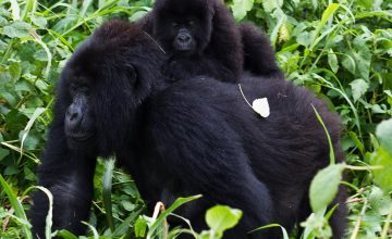 16 Days Uganda Gorilla Safari Tour