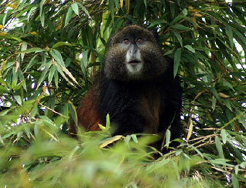 4 Days Gorilla Trekking Safari in Mgahinga Gorilla National Park