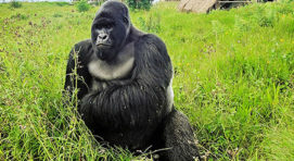 Do female gorillas beat their chests?