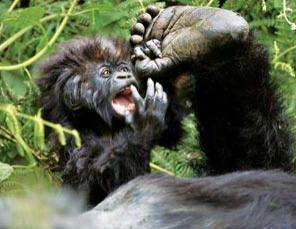 10 Days Uganda gorilla safari, chimpanzee trekking & wildlife tour/10 days Bwindi gorilla trekking tour Uganda