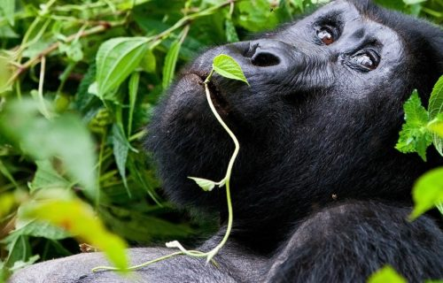 13 Days Uganda Gorilla Wildlife and Cultural safari
