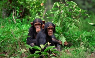 4 Days Uganda Wildlife Safari in Murchison Falls, Uganda Chimpanzee Trek Safari Kibale Park