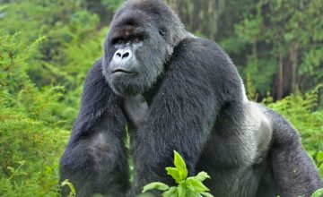 14 Days Uganda Gorilla Safari