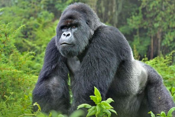 What's the biggest type of gorilla?