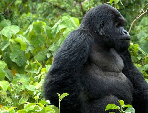 4 Days Uganda Gorilla Safari Bwindi Uganda Wildlife Safari Lake Mburo