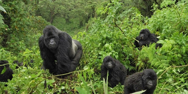 How Conservation Has Led to Rising in Numbers Of The Mountain Gorillas