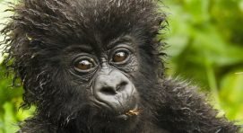 What is special about a mountain gorilla's nose?