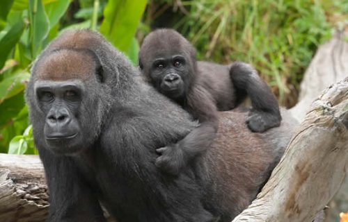 3 Days Congo Mountain Gorillas