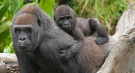 How long do baby gorillas stay with their mothers?