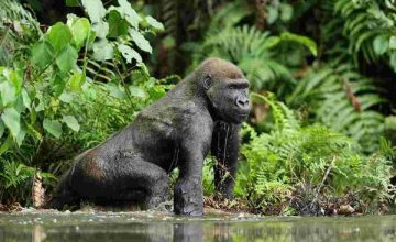 3 Days Congo Eastern Lowland Gorilla Safari
