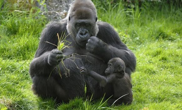 How many species of gorillas are there