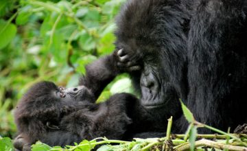 12 Days Uganda Primates Tour – National Park Safaris