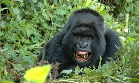 Are gorillas aggressive?