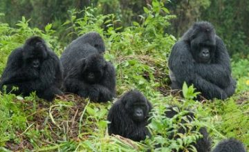 5 Days Bwindi Gorilla Tour & Kibale Chimps Trek