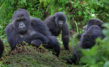 3 Days Gorilla Safari to Volcanoes National Park