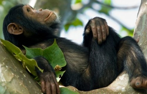 2 Days Chimpanzee Trekking Safari Uganda Kibale Park Chimp Trek Safari in Uganda