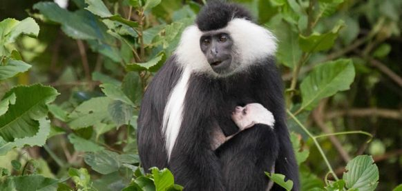 Colobus Monkey tracking in Nyungwe Forest National Park