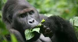 How much does a gorilla eat per day?