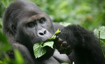 Gorilla Permit Cancellation Policy in Uganda