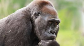 Are there mountain gorillas in zoos?